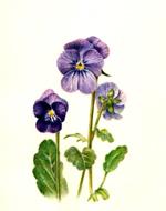 色鉛筆で描く植物画(ボタニカルアート風)